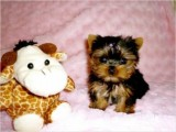 male and female teacup mlatese puppies
