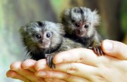 Stunning Genuine Marmoset Monkeys