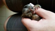 Marmoset Monkey Bottle Baby boy