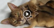 Charming Abyssinian kittens