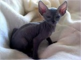 males and females Sphynx Kittens