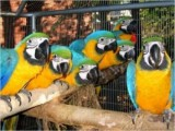 Hand raised baby macaws for sale