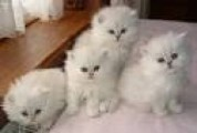 Cute Persian kittens For Sale...