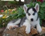 Alaskan Malamute puppies for adoption