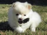 gorgeous female teacup pomeranian puppy for adoption