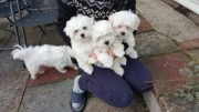 Good Looking Teacup Maltese Puppies for sale
